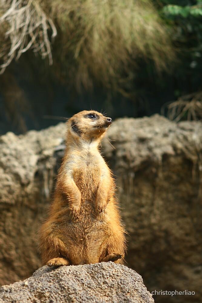 Meerkat on Guard by christopherliao
