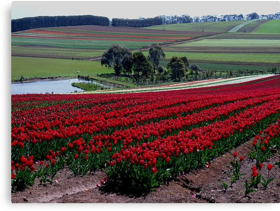photoj-Tasmania Tulips, Table Cape by photoj