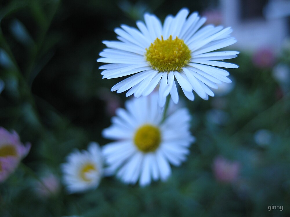 petite daisies by ginny