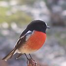 red robin by Damian7