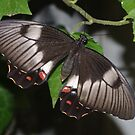 Orchard Swallowtail by Gregory John O'Flaherty