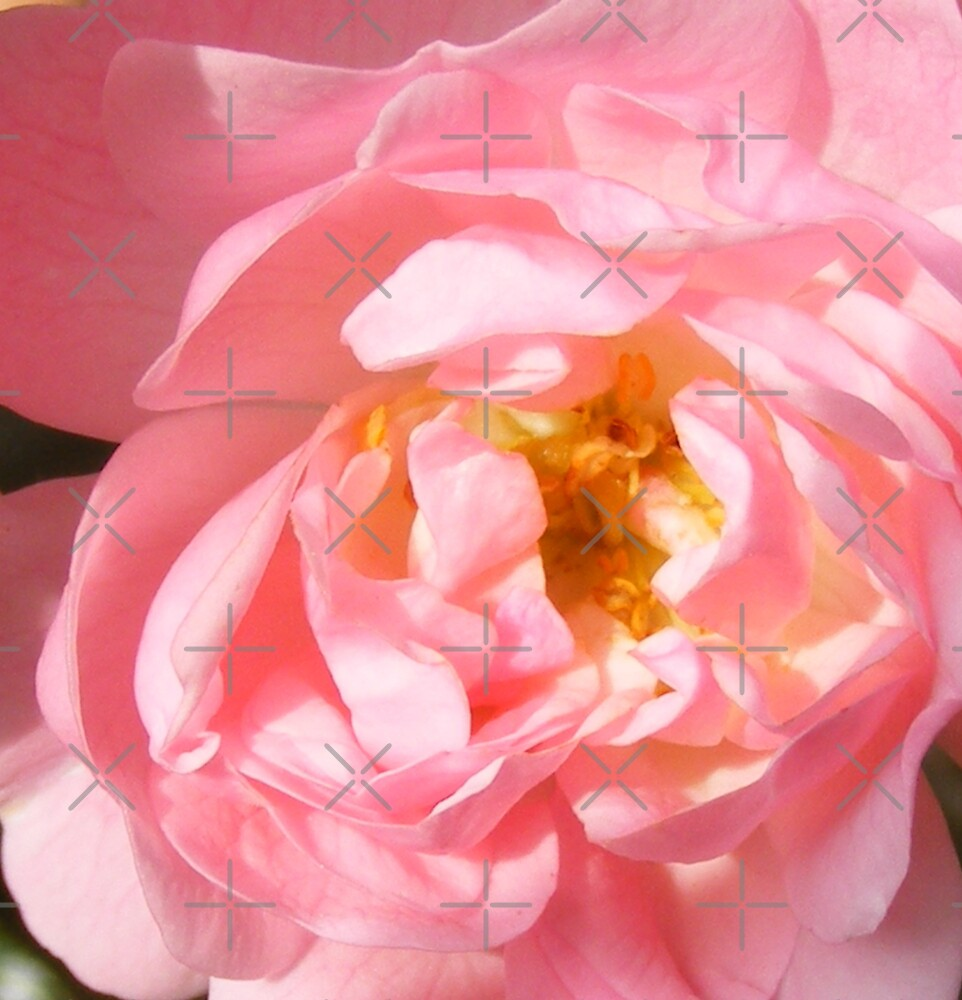 pink rose by dnlddean