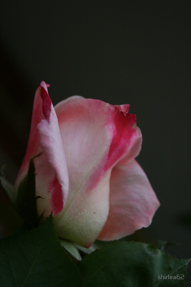 Pretty in Pink by shirlea62