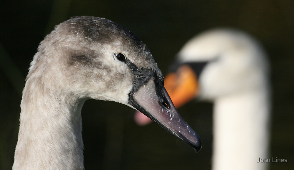Cygnet and Mother by John Lines