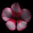 Geranium by hagnes