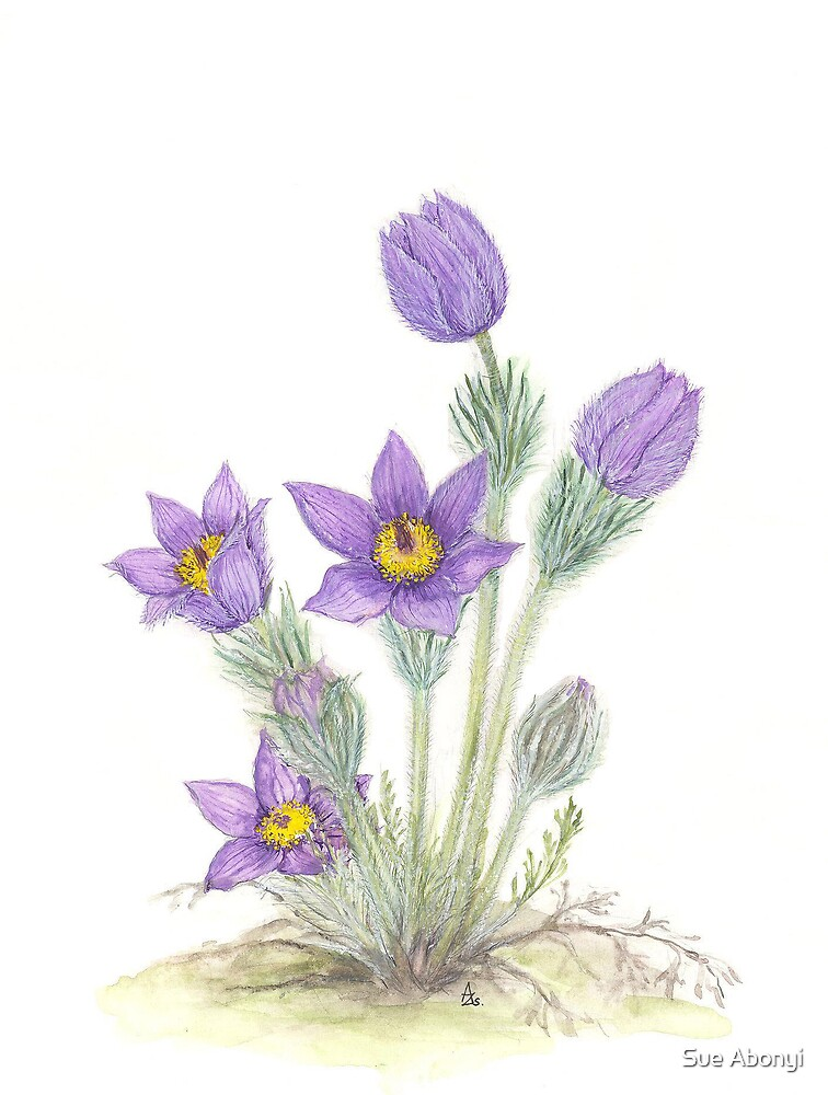 Pasque Flower - Pulsatilla grandis by Sue Abonyi