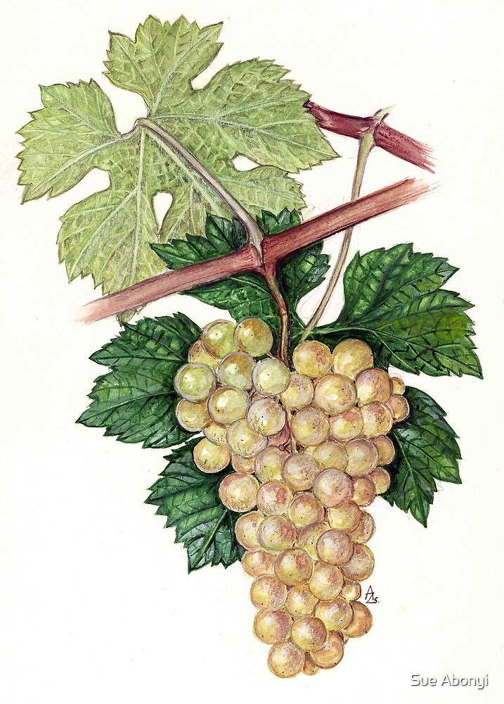 Grape - Vitis vinifera by Sue Abonyi