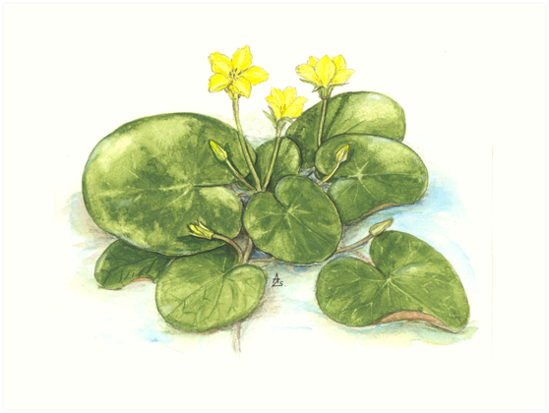 Yellow Floating Heart - Nymphoides peltata by Sue Abonyi