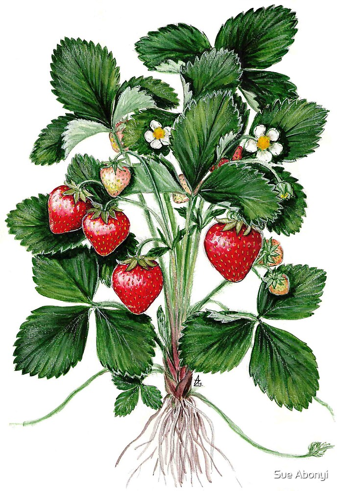 Garden Strawberry - Fragaria ananassa by Sue Abonyi
