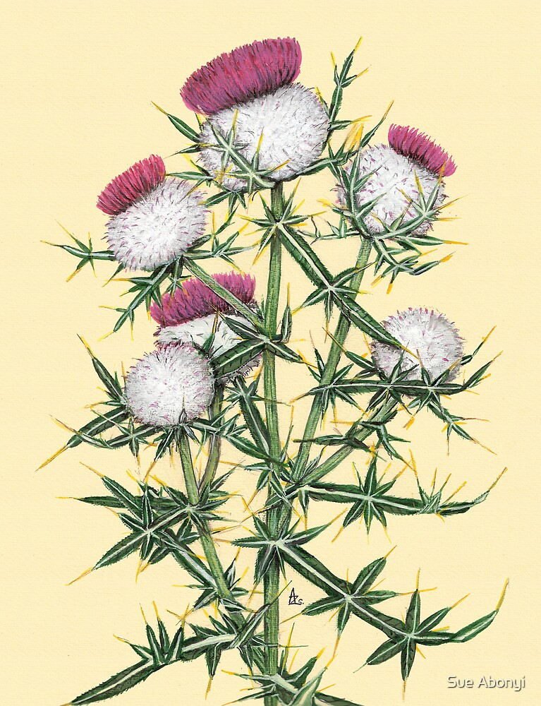 Woolly Thistle - Cirsium eriophorum by Sue Abonyi