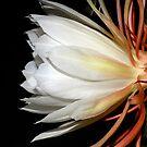 Cereus Profile by Bonnie T.  Barry