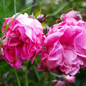 Wild Roses by penneyknightly