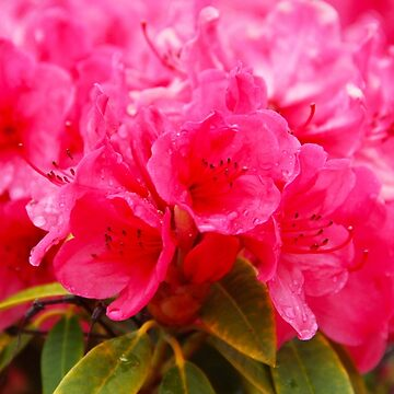Pink Rhododendrons by penneyknightly