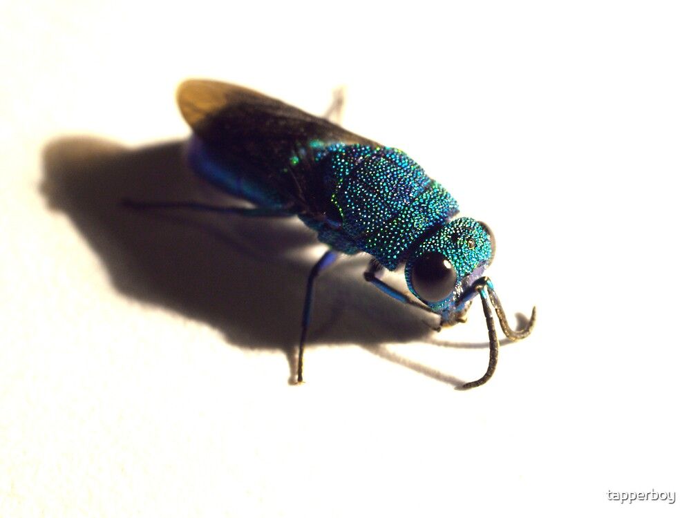 Cuckoo Wasp by tapperboy