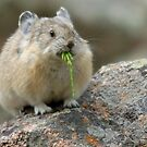 A Pika's Snack by Betsy  Seeton