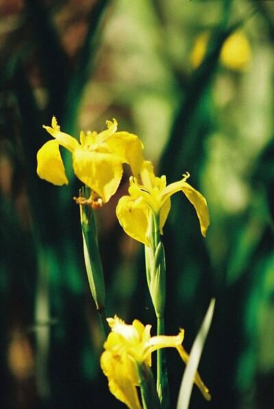 water iris by ian taylor