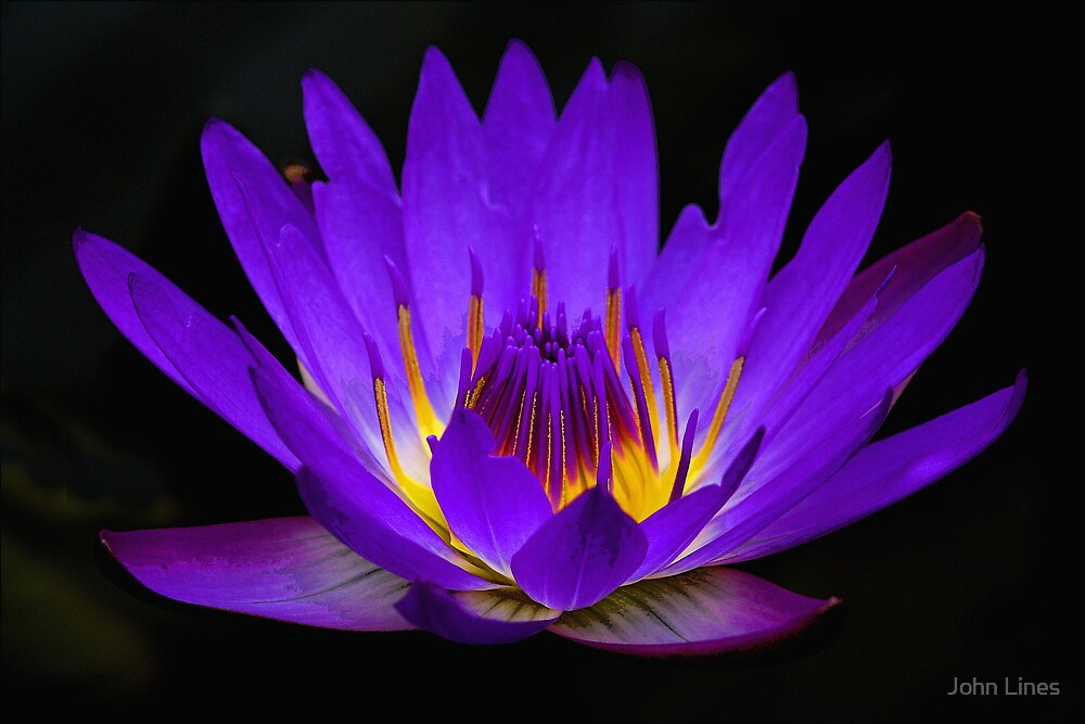 Water Lily by John Lines