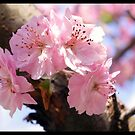 Spring Blossoms by PhotoBAB