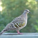 Bronzewing Pigeon by Trish Meyer