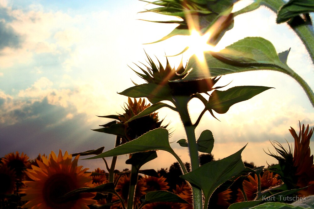 Sunflowers by Kurt  Tutschek