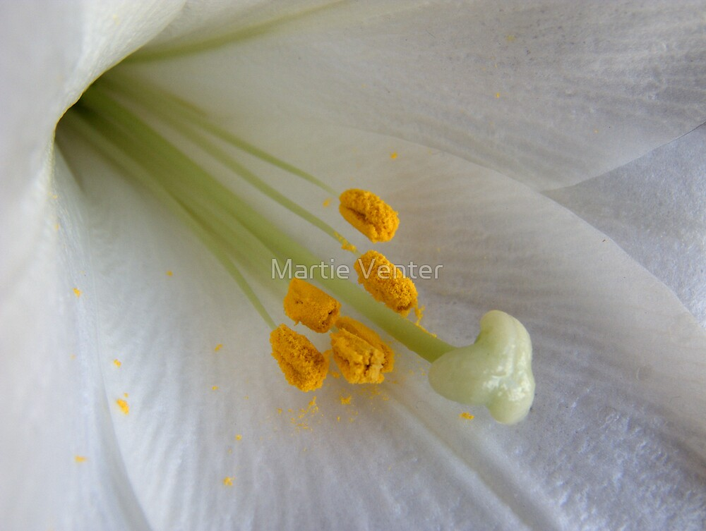 White Lily Macro by Martie Venter