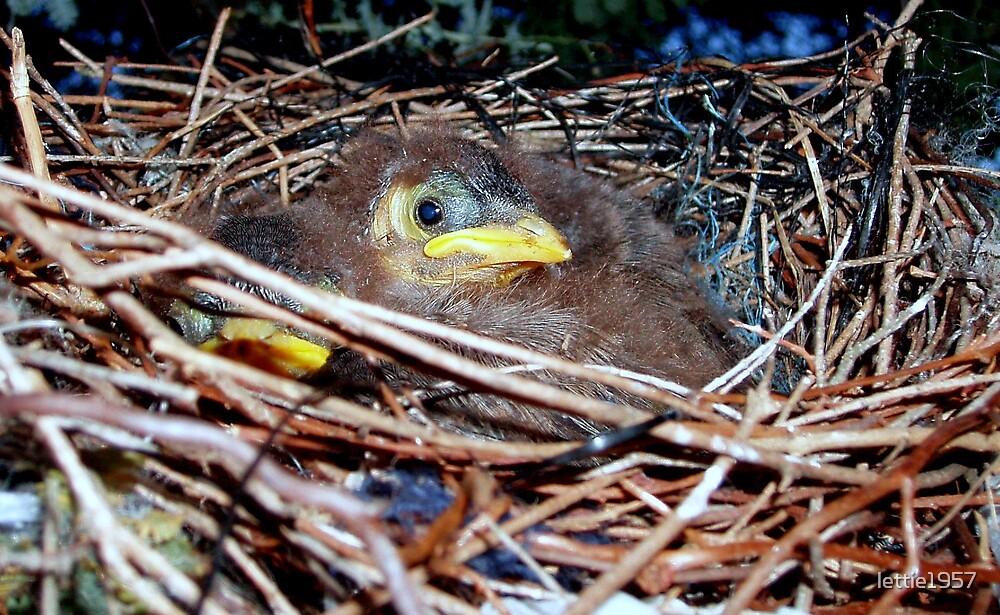 Baby Birds in a nest - Australian Miners - by lettie1957