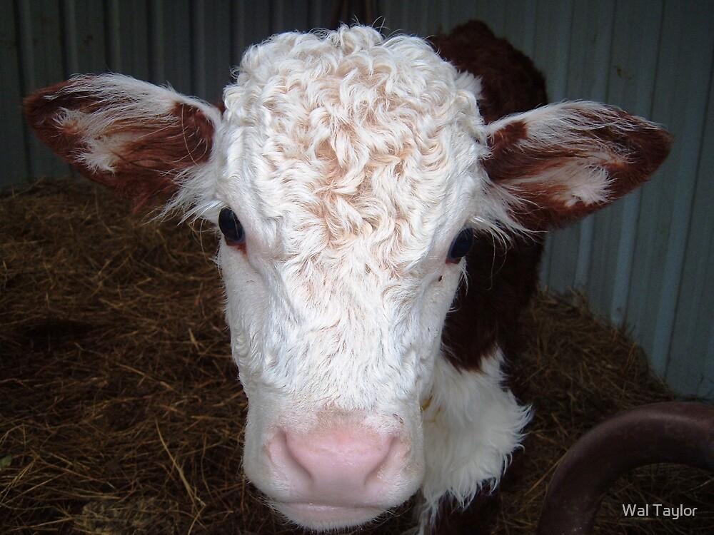 Calf by Wal Taylor
