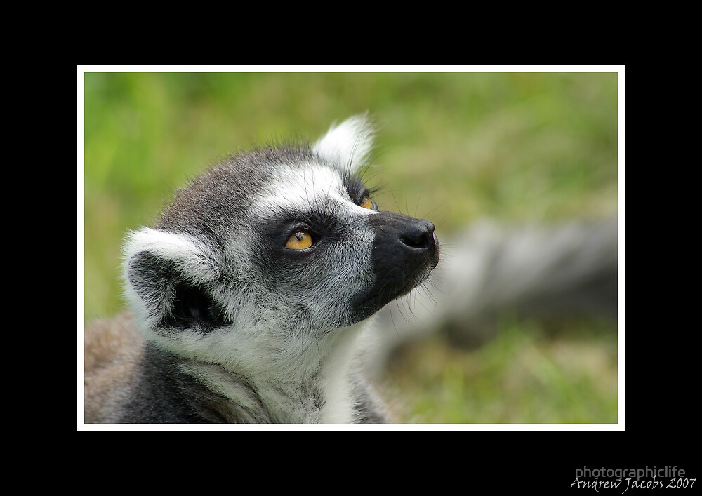 Lemur - Looking to the heavens by photographiclife