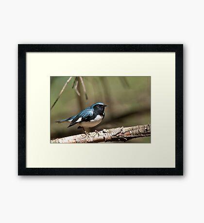 Black Throated Blue Warbler Framed Print
