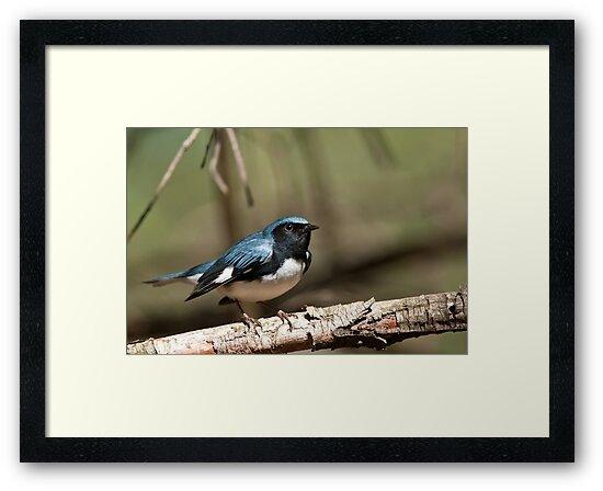 Black Throated Blue Warbler by Michael Cummings