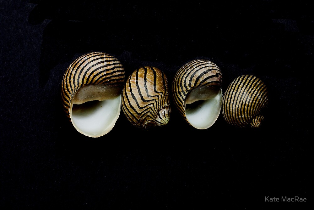 Shell study on black by Kate MacRae