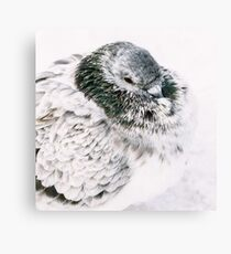 White And Gray Pigeon Bird Freezing In Cold Winter Weather Canvas Print