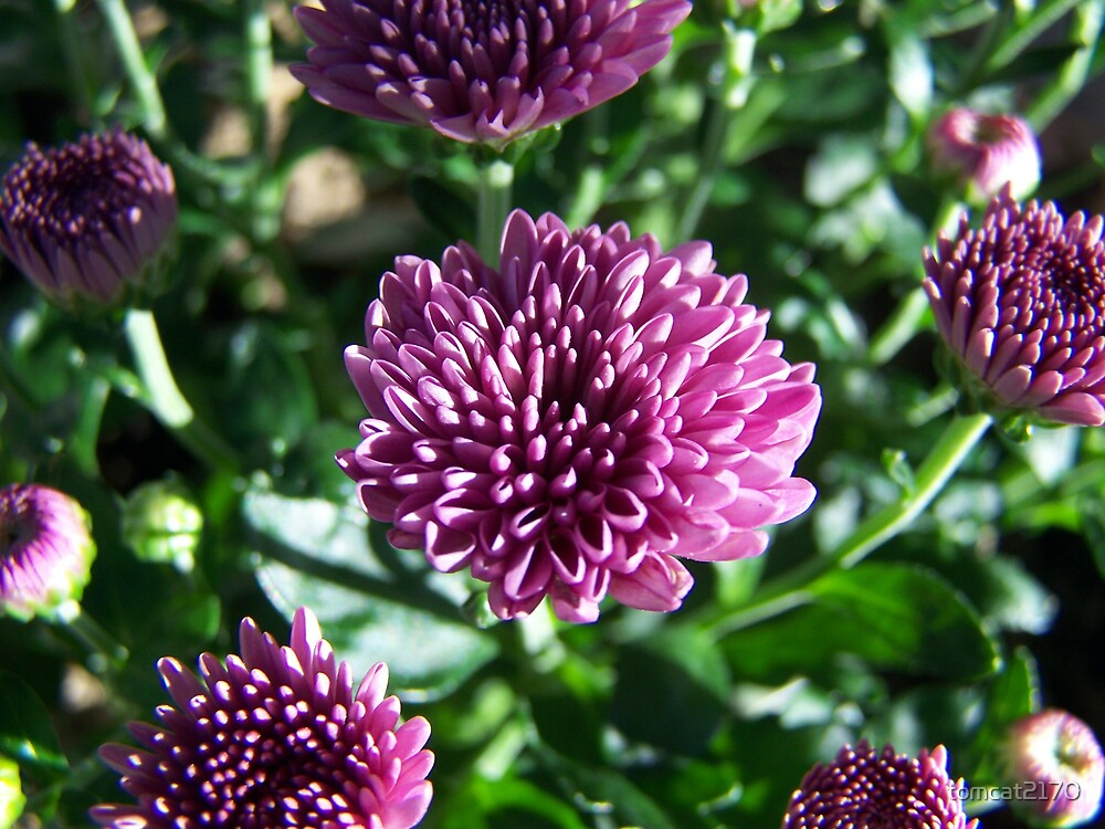 miniature purple mums by tomcat2170