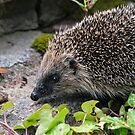 Hedgehog by Anna Phillips