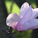 Evening Magnolia by AngieDavies