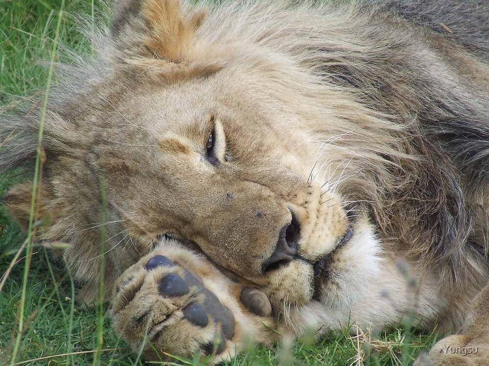 lazy lion by Yungsu