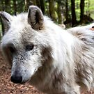 The Thinking Wolf by desertman