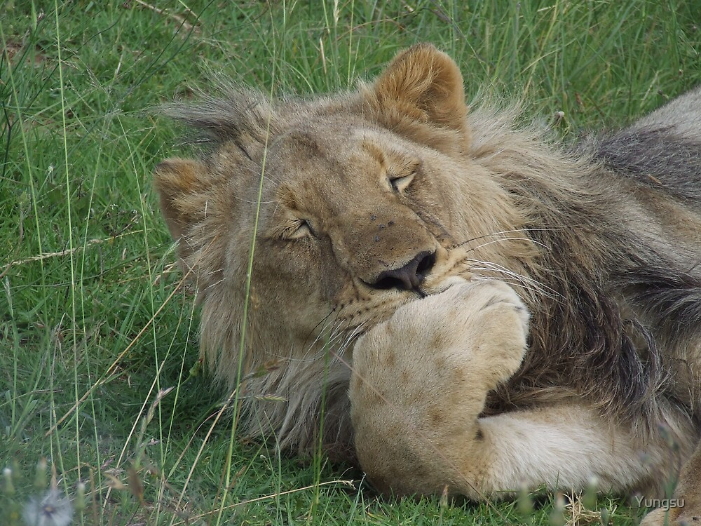 lazy lion 2 by Yungsu