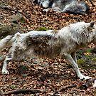 Running wolf by desertman