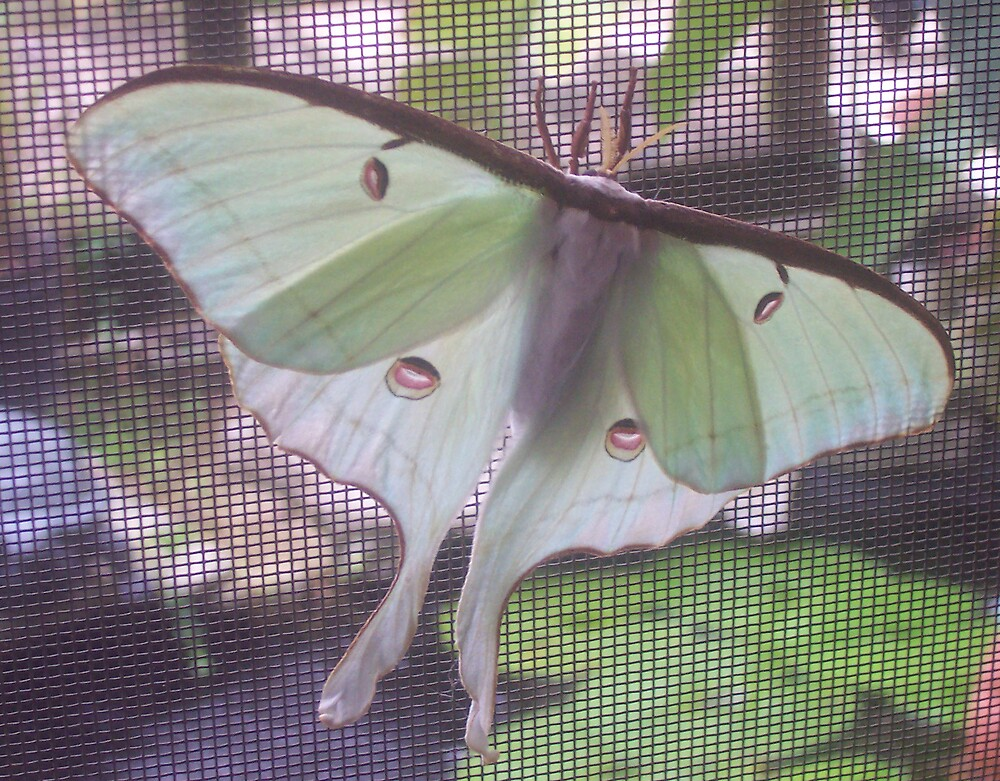 Luna Moth by MyCarriageAwaits
