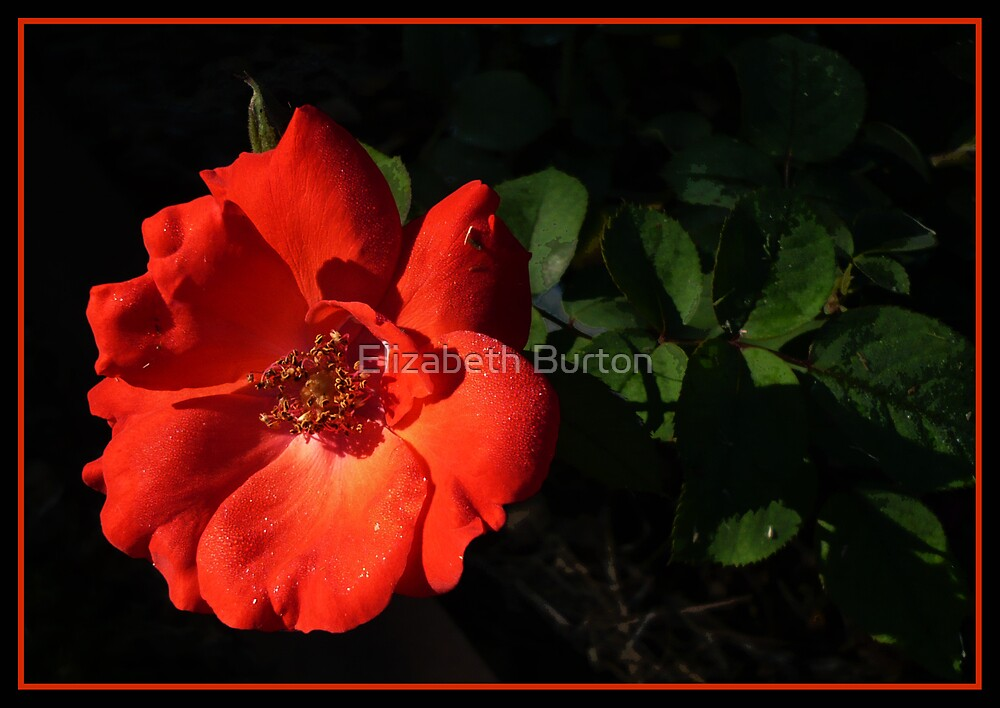 Fire Bloom by Elizabeth Burton