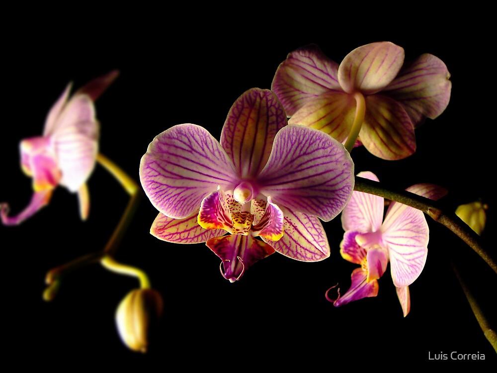 Orchid by Luis Correia
