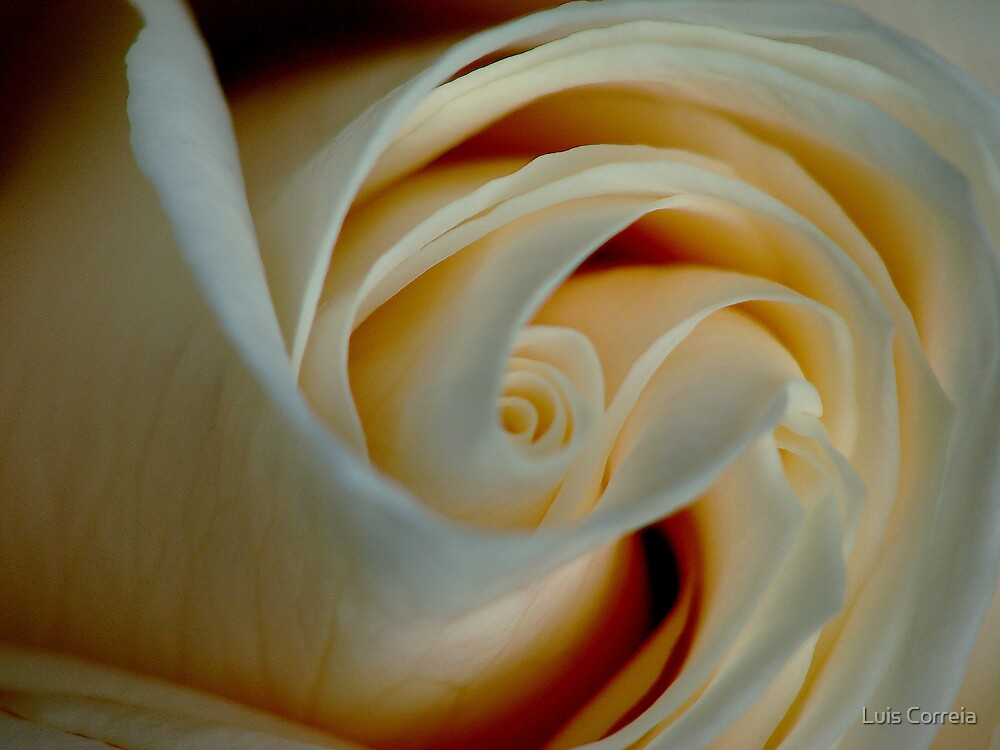 Creamy Rose by Luis Correia
