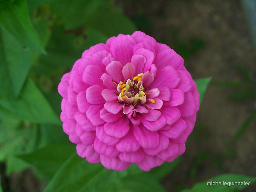 Pink Zinnia by michellegwheeler