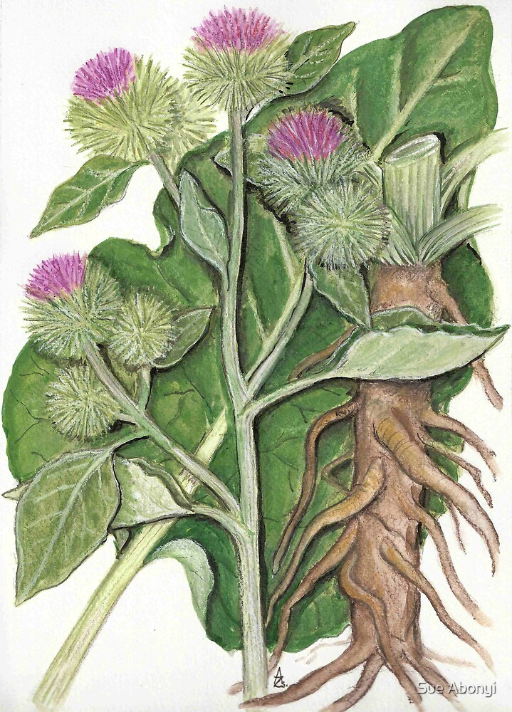 Greater burdock - Arctium lappa by Sue Abonyi