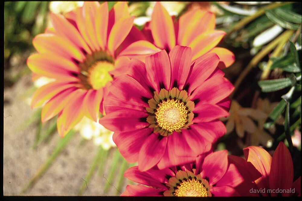 flowers 1 by david mcdonald