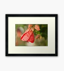 Red Abutilon hybridum, flower photography Framed Print