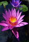 Lotus Blooms by Dave Lloyd