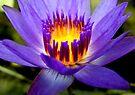 Purple Lotus by Dave Lloyd