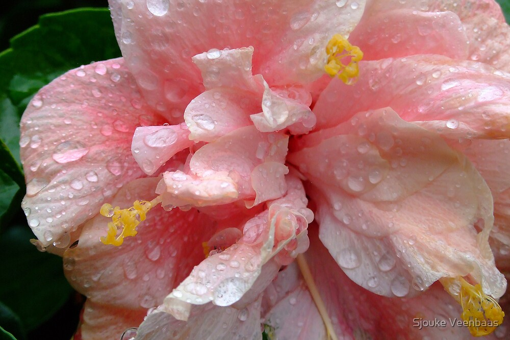 Chinese Rose in Pink with Waterdrops by Sjouke Veenbaas